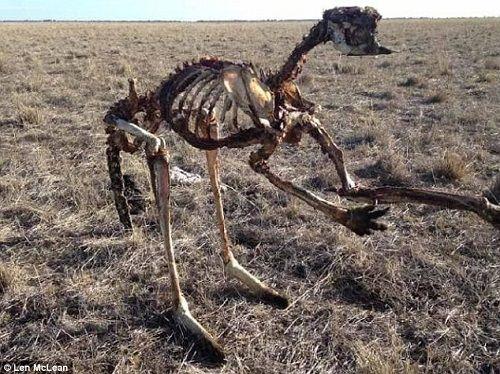 Hạn hán nghiêm trọng nhất 100 năm qua ở Úc, kangaroo chết trơ xương giữa đồng - Ảnh 1