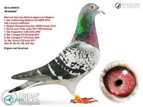 Đại gia Trung Quốc gây sốc khi bỏ ra 1,4 triệu USD mua một chú chim bồ câu đua - Ảnh 1