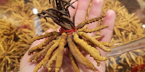 Tiết lộ về loài ký sinh trùng có giá trị nhất thế giới, đắt gấp 3 lần vàng - Ảnh 1