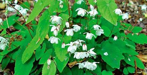 Loại cây đặc biệt trên núi có chức năng tăng cường sinh lý - Ảnh 1