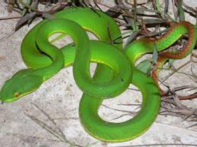 Tuyệt đối không chích, rạch vết thương khi bị rắn lục đuôi đỏ cắn