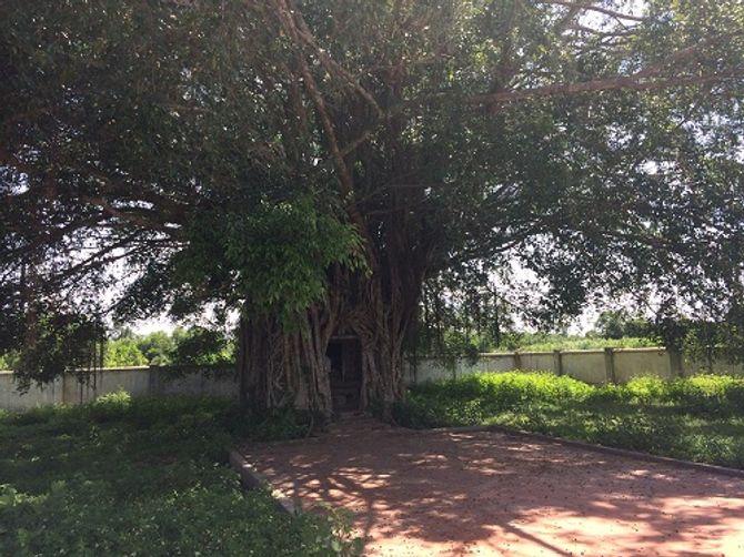 Độc đáo miếu thờ nằm gọn trong lòng cây đa ở Quảng Bình