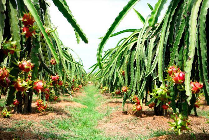 Những vườn trái cây... đến một lần nhớ mãi - Ảnh 5