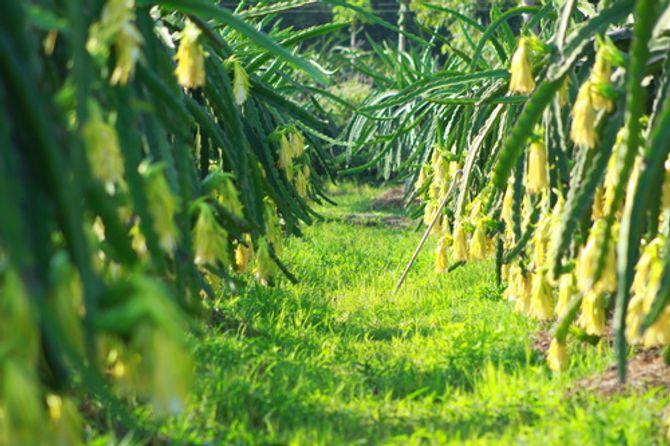 Những vườn trái cây... đến một lần nhớ mãi - Ảnh 6