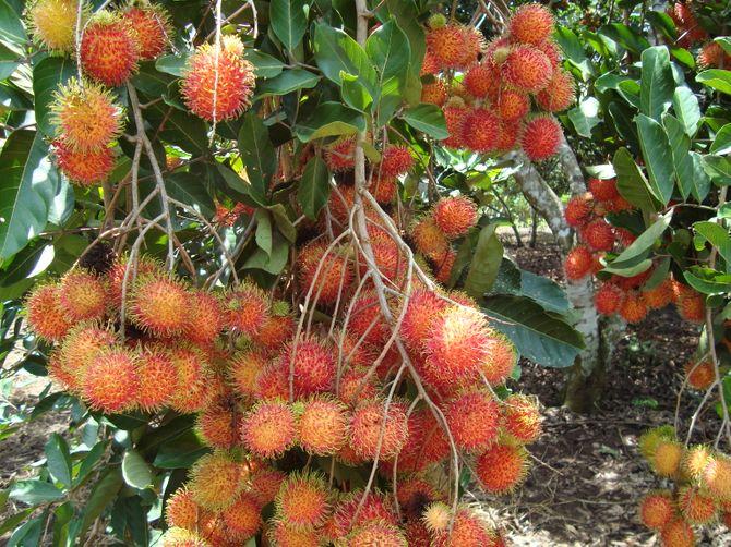 Những vườn trái cây... đến một lần nhớ mãi - Ảnh 8