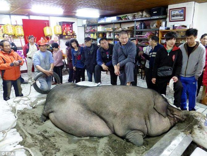 """""""Siêu lợn"""" nặng gần 1 tấn bị làm thịt tế thần - Ảnh 1"""