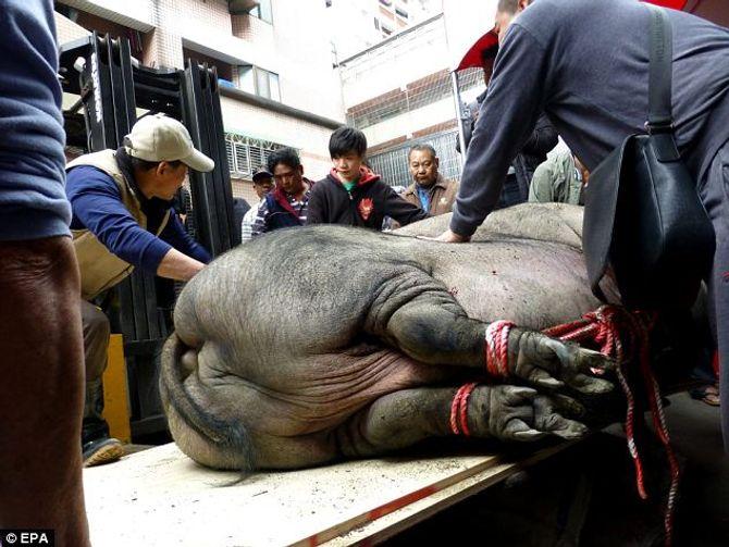"""""""Siêu lợn"""" nặng gần 1 tấn bị làm thịt tế thần - Ảnh 2"""