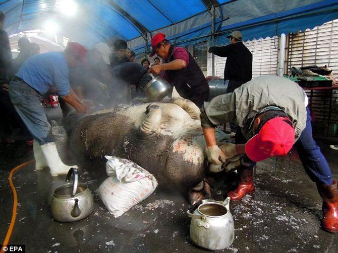 """""""Siêu lợn"""" nặng gần 1 tấn bị làm thịt tế thần - Ảnh 3"""