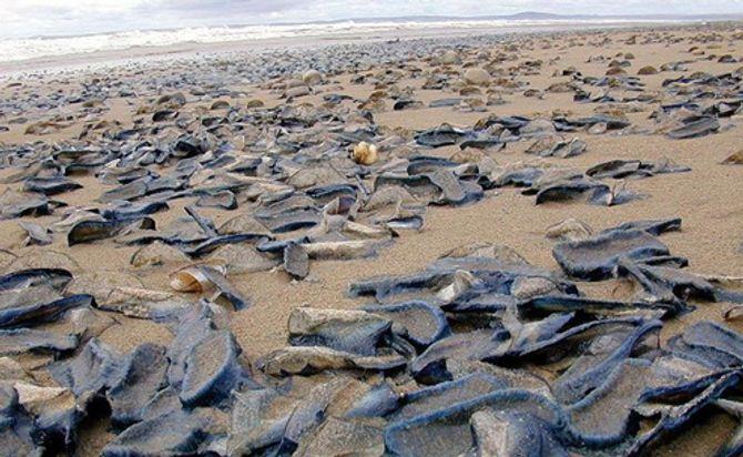 Mỹ: Bờ biển xuất hiện hàng triệu sinh vật hình thù kỳ lạ