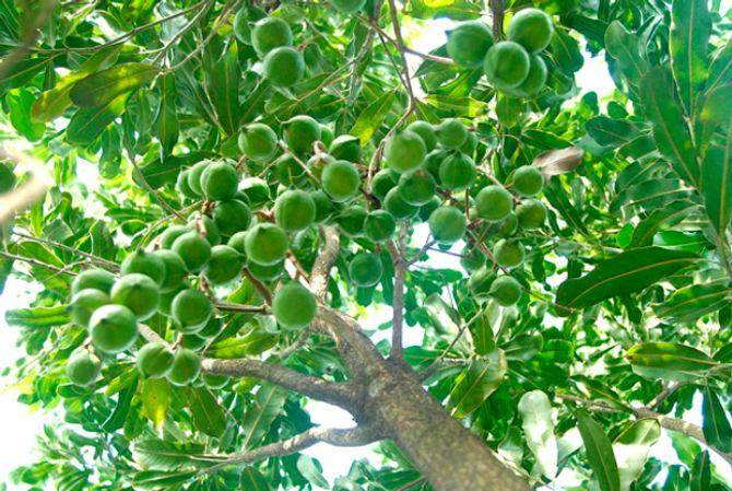 Vì sao cây mắc ca được gọi là cây tỷ đô ở Việt Nam? - Ảnh 1