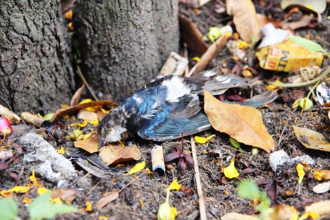 TP.HCM: Chim phóng sinh bay được 10m đã nằm chết 2