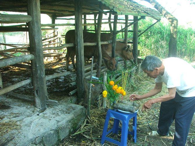"""""""Tết bò"""" - Tục lệ độc đáo của nông dân Phú Yên 5"""
