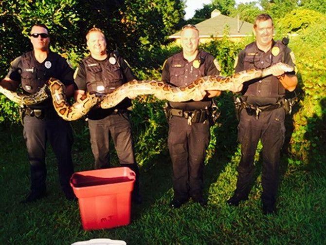 Cảnh sát bắt sống con trăn khổng lồ chuyên ăn thịt chó mèo