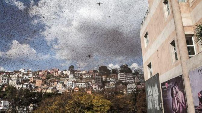 Hàng triệu con châu chấu tràn ra đường khiến giao thông hỗn loạn