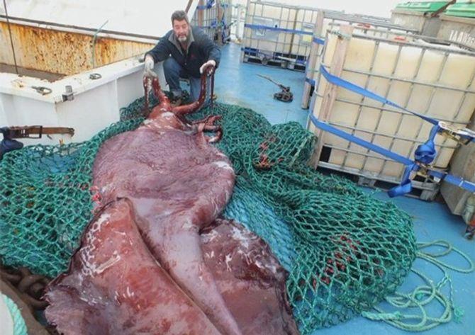 Cận cảnh mực khổng lồ nặng tới 350kg ở New Zealand