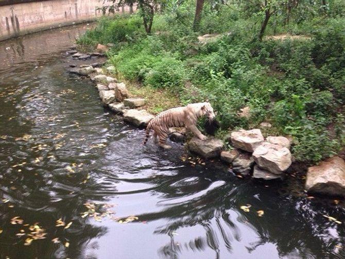 Người phụ nữ Trung Quốc hốt hoảng vì bị hổ trắng Bengal lục túi