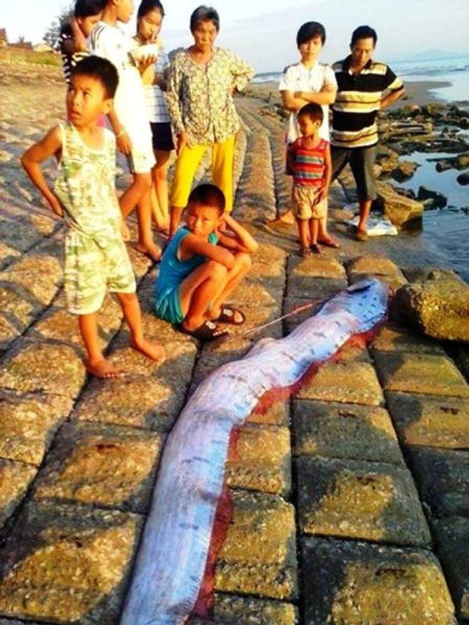 """""""Cá động đất"""" nặng 50kg trôi dạt vào bờ biển Hà Tĩnh"""