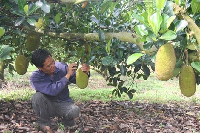 Vì sao nông dân Đồng Nai đồng ý bán mít giá 600 đồng/kg?