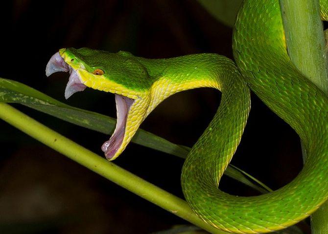 Cách sơ cứu khi bị rắn lục đuôi đỏ cắn mọi người cần biết
