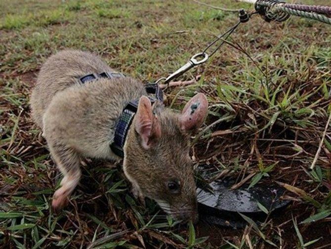 Kinh ngạc chuột khổng lồ dò gỡ hàng chục ngàn quả mìn