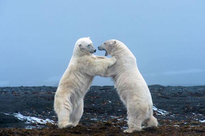 Thú vị khoảnh khắc yêu thương của 2 chú gấu Bắc Cực