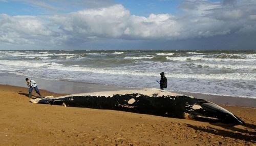Tìm thấy xác cá voi dài 11m tại bãi biển Kent, nước Anh - Ảnh 1