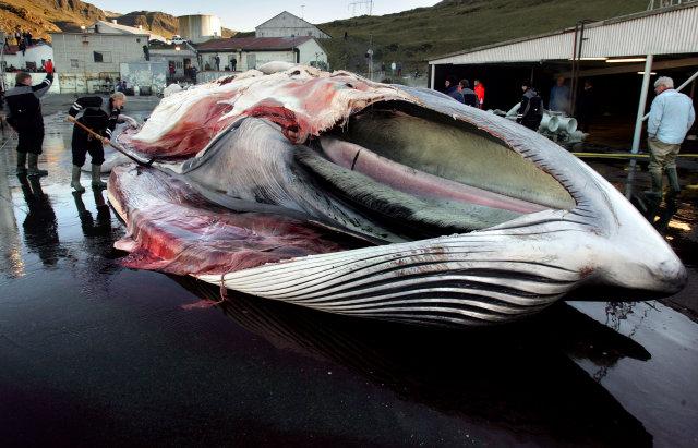 Mùa săn bắt cá voi đẫm máu tại Iceland - Ảnh 1