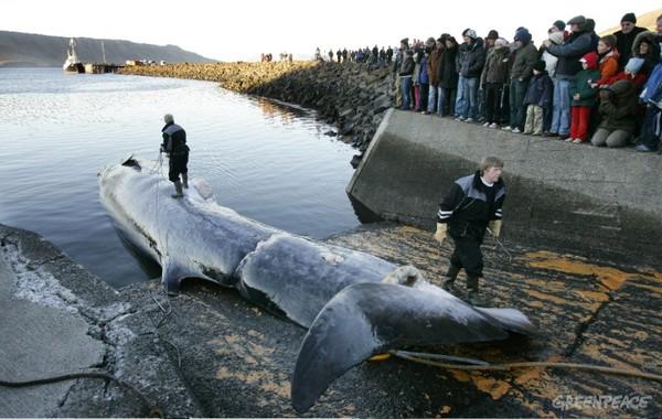 Mùa săn bắt cá voi đẫm máu tại Iceland - Ảnh 4
