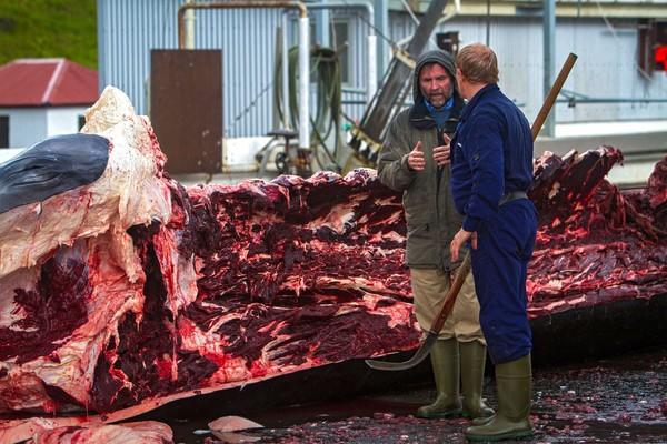 Mùa săn bắt cá voi đẫm máu tại Iceland - Ảnh 6
