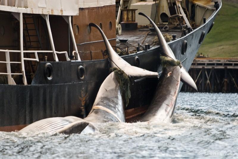Mùa săn bắt cá voi đẫm máu tại Iceland - Ảnh 3