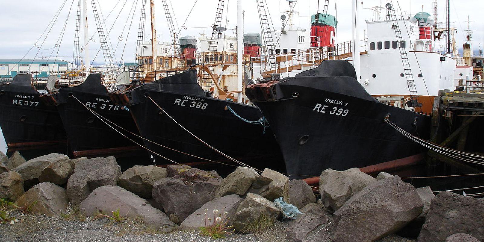 Mùa săn bắt cá voi đẫm máu tại Iceland - Ảnh 2