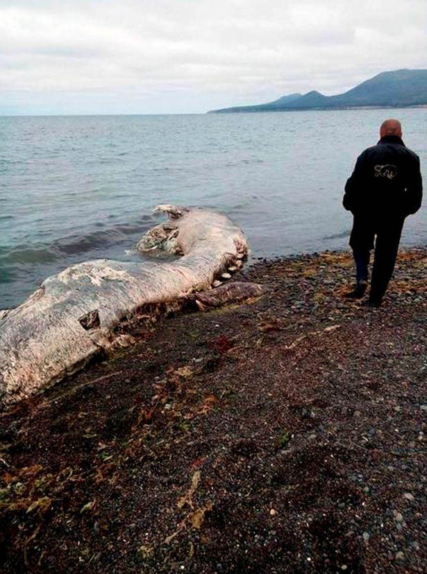 """Xác """"quái vật"""" bí ẩn dạt vào bờ biển ở Nga - Ảnh 1"""