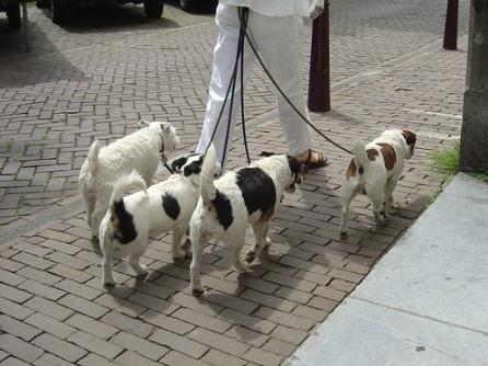 Hà Nội: Kiếm bộn tiền nhờ… dắt chó đi dạo - Ảnh 1