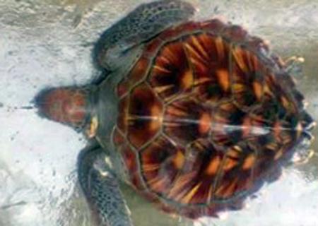 Ngư dân Hà Tĩnh thả rùa quý nặng 10kg về đại dương - Ảnh 1