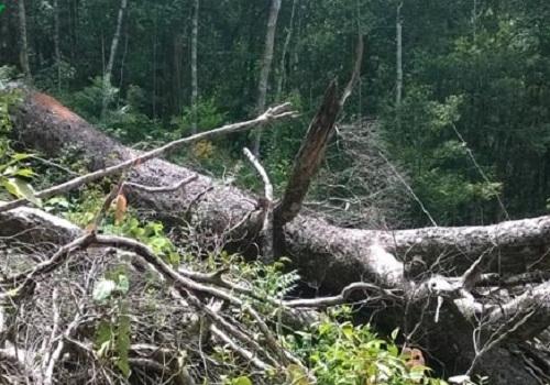 VQG Chư Yang Sin: Nhẫn tâm đốn hạ rừng già chỉ để lấy… hạt - Ảnh 3