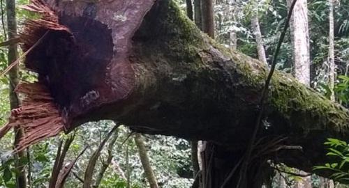 VQG Chư Yang Sin: Nhẫn tâm đốn hạ rừng già chỉ để lấy… hạt - Ảnh 4