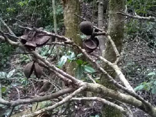 VQG Chư Yang Sin: Nhẫn tâm đốn hạ rừng già chỉ để lấy… hạt - Ảnh 6