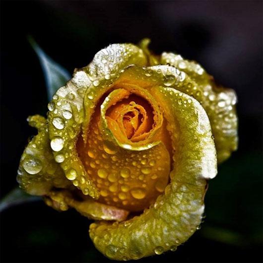 """Quy trình làm hoa hồng dát vàng và bí kíp nhận biết """"hàng fake"""" - Ảnh 4"""