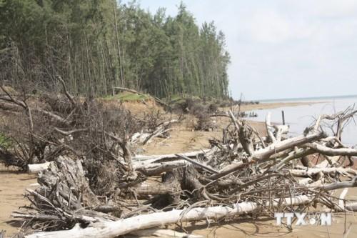 Nguy cơ thu hẹp rừng phòng hộ phi lao ven biển ở Trà Vinh - Ảnh 1