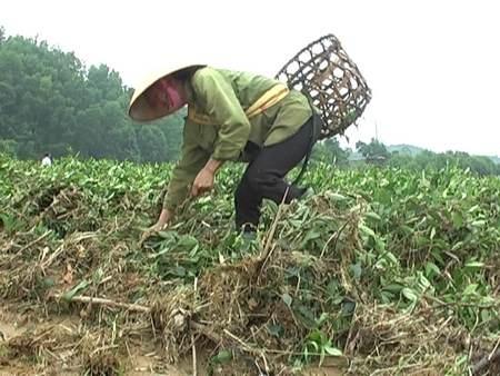 Hà Tĩnh: Hàng trăm ha chè công nghiệp đứng trước nguy cơ mất trắng - Ảnh 1