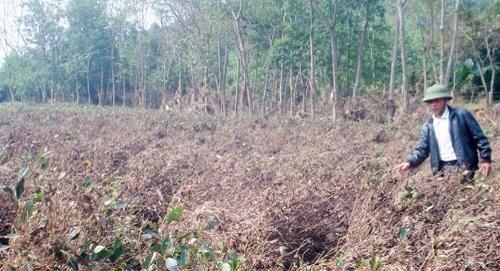Hương Sơn - Hà Tĩnh: Xác xơ những đồi chè sau lũ dữ - Ảnh 1