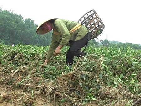 Hương Sơn - Hà Tĩnh: Xác xơ những đồi chè sau lũ dữ - Ảnh 2