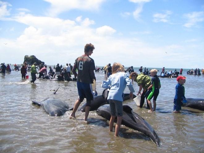 Hàng chục con cá voi mắc cạn tại bờ biển New Zealand - Ảnh 1