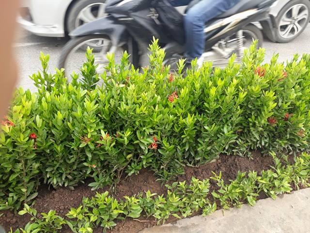 Hà Nội: Sự thật hàng loạt cây xanh trên dải phân cách bị nhổ bỏ - Ảnh 4