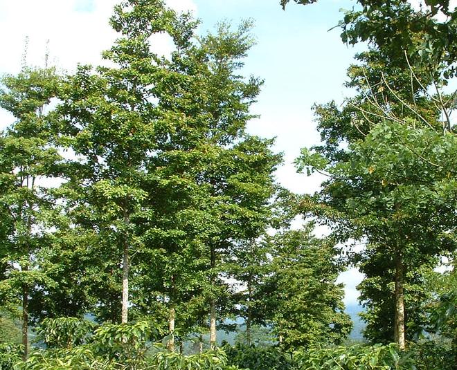 Những cây gỗ tươi quý hiếm bậc nhất thế giới chỉ đại gia mới dám chi tiền mua - Ảnh 1