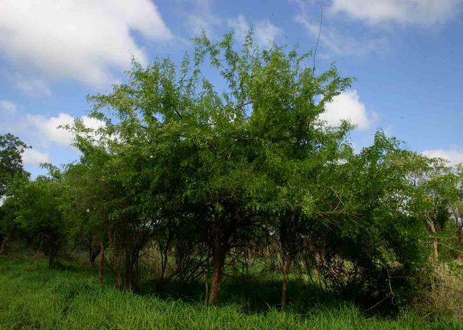 Những cây gỗ tươi quý hiếm bậc nhất thế giới chỉ đại gia mới dám chi tiền mua - Ảnh 11