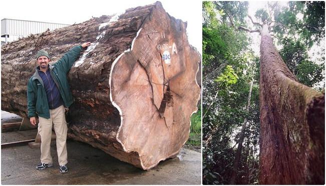 Những cây gỗ tươi quý hiếm bậc nhất thế giới chỉ đại gia mới dám chi tiền mua - Ảnh 3