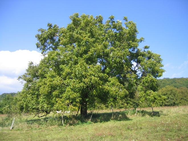 Những cây gỗ tươi quý hiếm bậc nhất thế giới chỉ đại gia mới dám chi tiền mua - Ảnh 15