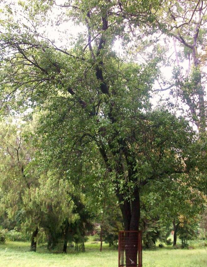 Những cây gỗ tươi quý hiếm bậc nhất thế giới chỉ đại gia mới dám chi tiền mua - Ảnh 9