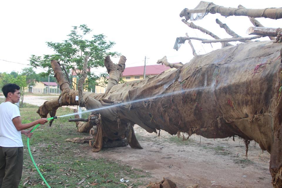 """Chủ sở hữu cây """"quái thú"""" bị phạt 750.000, nhận lại cây - Ảnh 1"""